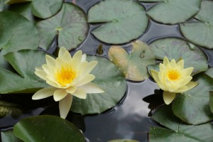 water-lily-819075
